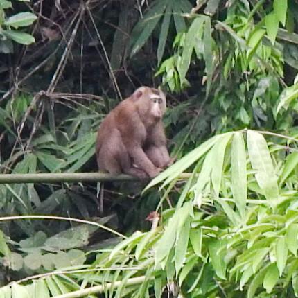 Macaque, Khao Sok